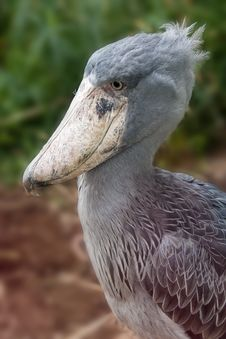Free Shoebill - Balaeniceps Rex Royalty Free Stock Images - 18430879