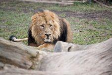 Free Lurking Lion Stock Photos - 18431443
