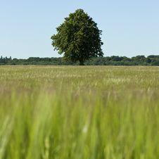 Free Green Solitaty  Tree Stock Image - 18432241