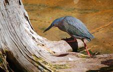 Free Green Heron Stock Image - 18433451