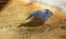 Free Green Heron Stock Photos - 18433453