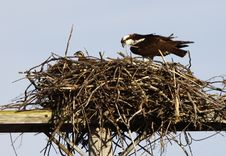 Osprey Adult And Offspring In Nest Stock Images