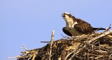 Free Osprey Calling In Nest Copy Space Hotizontal Royalty Free Stock Image - 18434436