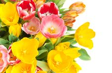 Free Tulips Stock Images - 18435034