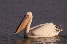 Free White Pelican Royalty Free Stock Photography - 18437297