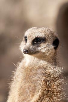 Free Suricate Or Mongoose Or Meerkat Stock Photo - 18437570