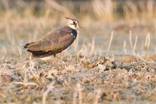 Free Northern Lapwing On Dry Vegetation Royalty Free Stock Images - 18438119