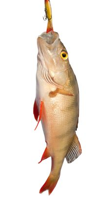 Free Winter Fishing. Just Trapped Lake Perch Stock Photography - 18438932