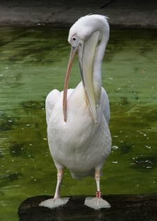 Free White Pelican Royalty Free Stock Images - 18439609