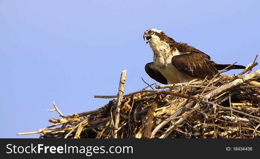 Osprey Calling in Nest Copy Space Hotizontal