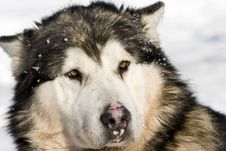 Free Siberian Husky In The Snow Stock Photos - 18440583