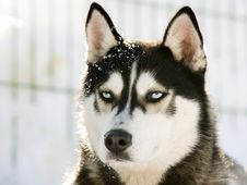 Free Siberian Husky In The Snow Stock Image - 18440601