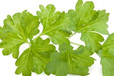 Free Fresh Leaf Herb Parsley Royalty Free Stock Image - 18442046