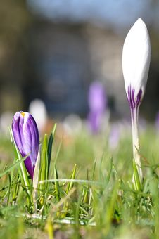 White And Purple Crocus Flowers Royalty Free Stock Photography