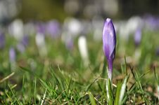 Free Single Purple Crocus Flower Royalty Free Stock Photo - 18442665