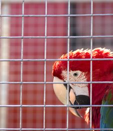 Free Parrot Royalty Free Stock Photo - 18447495