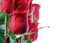 Free Red Roses Stock Images - 18448304