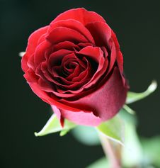 Free Red Rose Royalty Free Stock Photography - 18448307
