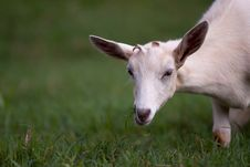 Free White Goat Eating Green Grass Stock Photos - 18448453