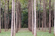 Free Hardwood Trees In A Row Stock Photos - 18448473