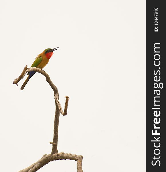 A Red-throated Bee-eater on a twig