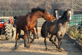Free Horse Attack Royalty Free Stock Photo - 18450035
