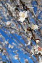 Free Spring Almond Blossom Stock Photography - 18456242