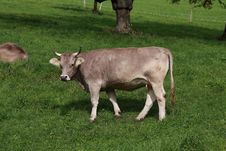 Free Cow On A Green Swiss Farm Land Royalty Free Stock Photography - 18450027