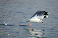 A Seagull Get His Food Royalty Free Stock Photography