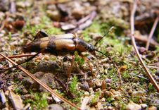 Free Ground Beetle Stock Images - 18451374