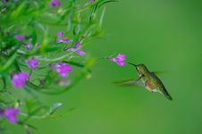 Free Female Rufous Hummingbird Stock Photos - 18453123