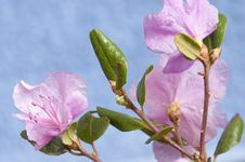 Free Rhododendron Dauricum Stock Photo - 18453730