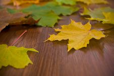 Free Marple Leaves, Shallow Focus Royalty Free Stock Images - 18453909