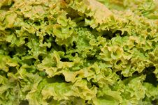 Free Salad Leaf Stock Photo - 18454630