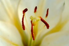 Free White Lily Close-up Royalty Free Stock Images - 18455159