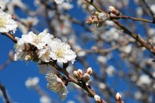 Free Spring Almond Blossom In Full Bloom Royalty Free Stock Photos - 18456228