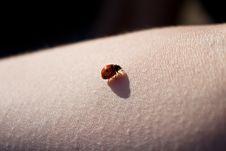 Free Ladybug Royalty Free Stock Photos - 18456358