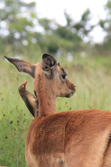 Free Baby Impala With Oxpecker Bird Royalty Free Stock Image - 18456686