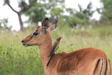 Free Baby Impala And Oxpecker Bird Stock Photography - 18456692