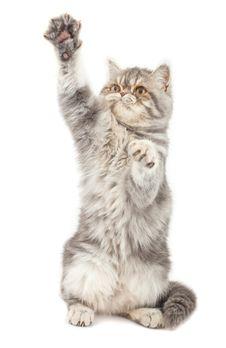 Free Exotic Short-haired Kitten. Stock Image - 18457781