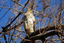 Free Cooper S Hawk Royalty Free Stock Image - 18458246