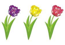 Free Tulips Stock Image - 18458431