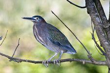 Free Tricolored Heron (Egretta Tricolor) Stock Image - 18458771