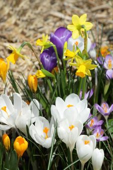 Free Crocuses Royalty Free Stock Photos - 18458908