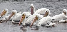 American White Pelican Royalty Free Stock Photo