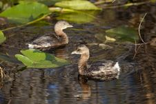 Free Pied-billed Grebe (Podilymbus Podiceps) Royalty Free Stock Images - 18459009