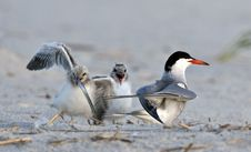 Free Common Tern Babies Stock Photography - 18459062