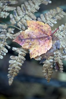 Free Autumn Leaf On Fern Stock Photos - 18459143