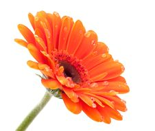 Free Orange Gerbera  Isolated With Dots Stock Photo - 18459840