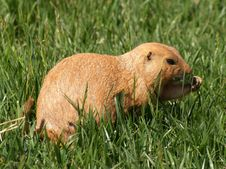 Free A Little Prairie Dog Stock Photos - 18459983
